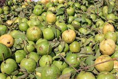 Guava. Psidium guajava, Myrtaceae, evergreen tree producing white flowers and yellowish-white fruits with soft white or red flesh and plenty of seeds royalty free stock photography
