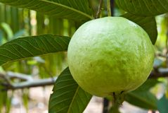 Guava on tree Royalty Free Stock Photo