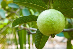 Guava on tree Royalty Free Stock Photos