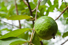 Guava on tree Stock Images