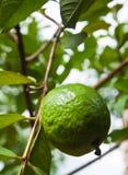 Guava on tree Stock Photos