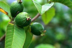 Guava on the tree Stock Photography