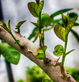 Guava Tree buds Royalty Free Stock Photography