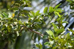 Guava tree closeup green tree healthy fruit royalty free stock images