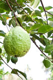 Guava on tree in garden Stock Image