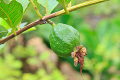 Guava on tree in garden Royalty Free Stock Photo