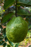 Guava tree, guave fruit Stock Image