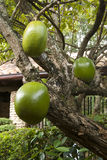 Guava tree with juicy fruits Royalty Free Stock Photo
