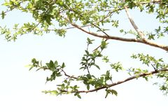 Guava Tree Leaves and the clear sky. Image of a guava tree leaves through the clear sky at daytime in rural area .Feel peace in mind by seeing nature Stock Photos