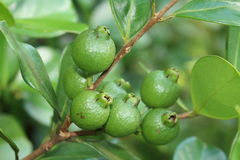 Guava on a tree Stock Photography
