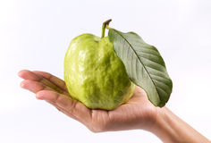 Guava (tropical fruit) in hand Stock Image