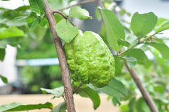 Guava (tropical fruit) Stock Photography