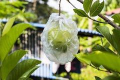 Guava w ogródzie Obraz Stock