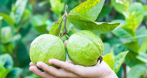 Guava Royalty Free Stock Images