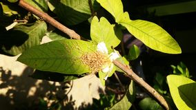 Guavablomma och blad Arkivfoton