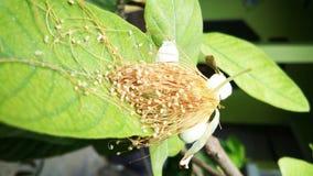Guavablomma och blad Royaltyfri Bild