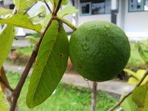 Guavafrukt är fortfarande ny Arkivbild
