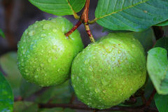 Guavafrukt, Thailand Arkivbild