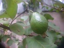 Guavan skvalpar på naturlig trädgård för träd Arkivbilder