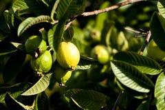 guavas зрелые Стоковое Изображение