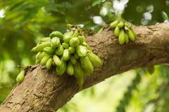 Guavas на дереве Стоковые Изображения RF
