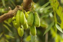 Guavas на дереве Стоковое фото RF
