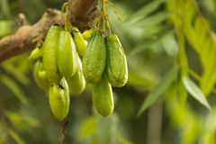 Guavas on tree. Bunch of guavas on tree on zanzibar crop and spice farm Royalty Free Stock Images
