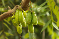 Guavas on tree. Bunch of guavas on tree on zanzibar crop and spice farm Royalty Free Stock Photo