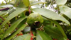 Guavaträd Arkivbild