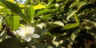 Guavaväxtblommor royaltyfria bilder