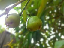 Guave stock foto
