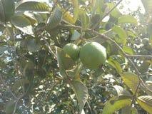 Guave/Olijf stock afbeeldingen