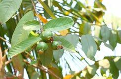 Guave - Peer - Vruchten op Guaveinstallatie - Psidium guajava royalty-vrije stock foto
