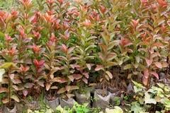 Guavebemonstering Stock Fotografie