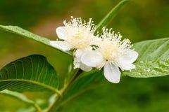 Guavebloem in volledige bloei royalty-vrije stock afbeelding