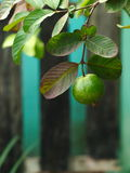 Guaveboom met bladeren Stock Foto's