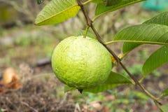 Guavefruit Royalty-vrije Stock Fotografie