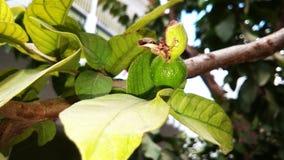 Guavefruit en blad Royalty-vrije Stock Afbeeldingen
