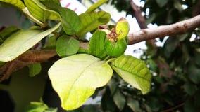 Guavefruit en blad Royalty-vrije Stock Afbeelding