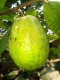 Guaven-Schönheitsnaturfrüchte blühen den scenary Himmel stockbild