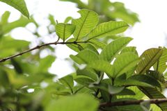 Guavenbaum verlässt Ansicht stockfotografie