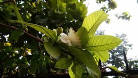 Guavenblume stockfotografie