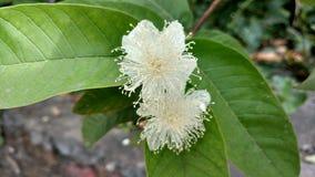 Guavenblume mit Blättern Lizenzfreie Stockbilder