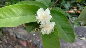 Guavenblume mit Blättern Lizenzfreies Stockfoto
