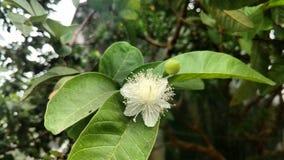 Guavenblume mit Blättern und der Knospe Lizenzfreies Stockfoto