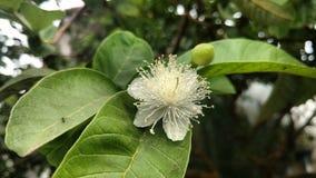 Guavenblume mit Blättern und der Knospe Stockbild