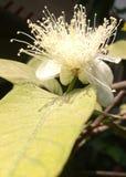 Guavenblume und -blatt lizenzfreie stockfotos