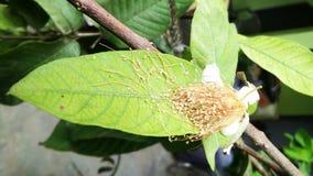 Guavenblume und -blatt stockfotografie