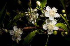 Guavira blomma (Campomanesia pubescens) Royaltyfri Fotografi