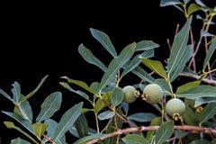 Guavira frukt (Campomanesia pubescens) Arkivbild